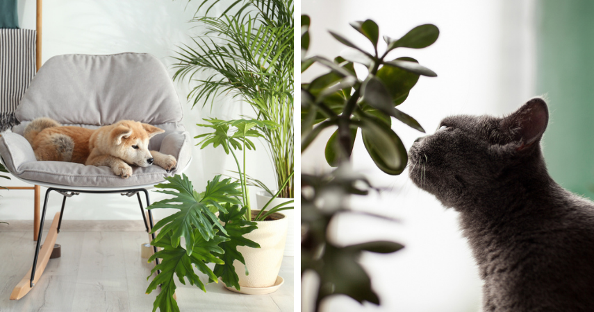 Hondvriendelijke en katvriendelijke kamerplanten die niet giftig zijn
