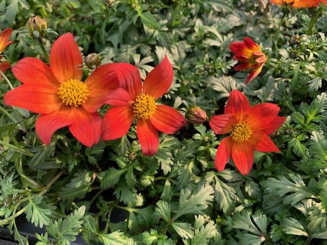 zomerbloeiers-plantenvoeding